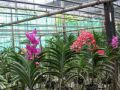 Fermes d'orchidées Chiang Mai