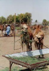 Reviews- Barka Camel Farm Market