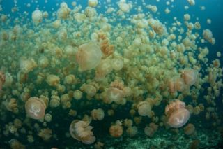 Avis - Jellyfish Lake
