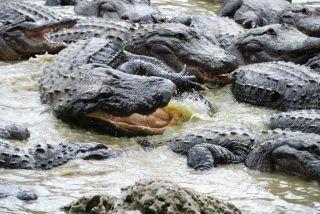 Reviews- Everglades Alligator Farm