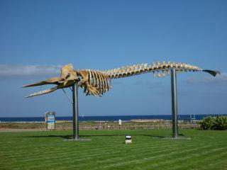 szkielet wieloryba