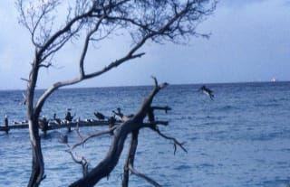 Avis - colonie de pélicans gris